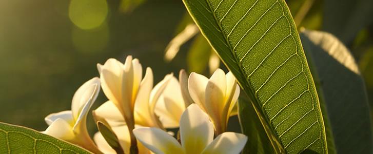 Photo : http://www.tourism-mauritius.mu/Green-Tourism/flora.html)